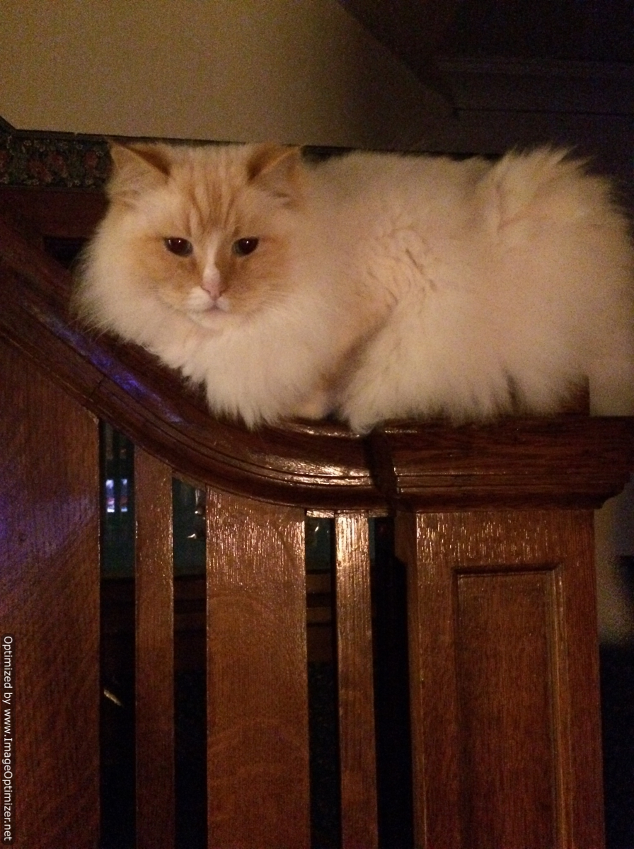 Mango flame point ragdoll on his throne stairway banister Craig Martineau