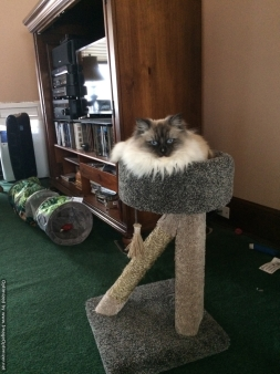 Lacey, The Queen on her Throne. Seal Point Ragdoll Craig Martineau