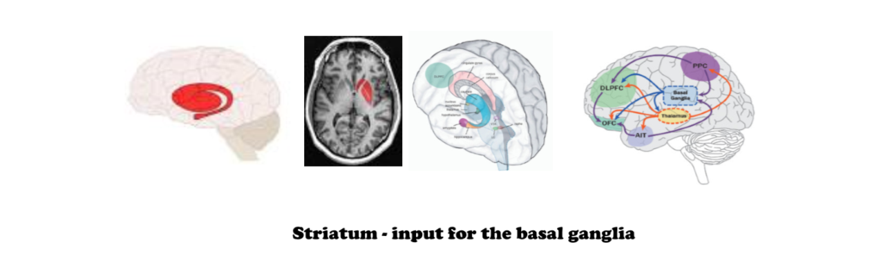 Striatum - input center for the basal ganglai Google Images