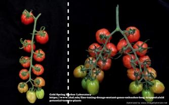 Resurrecting tomato plants www.chsl.edu