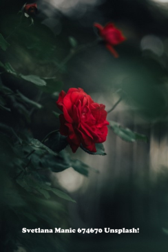 Red Rose Svetlana Manic 674670 - unsplash!