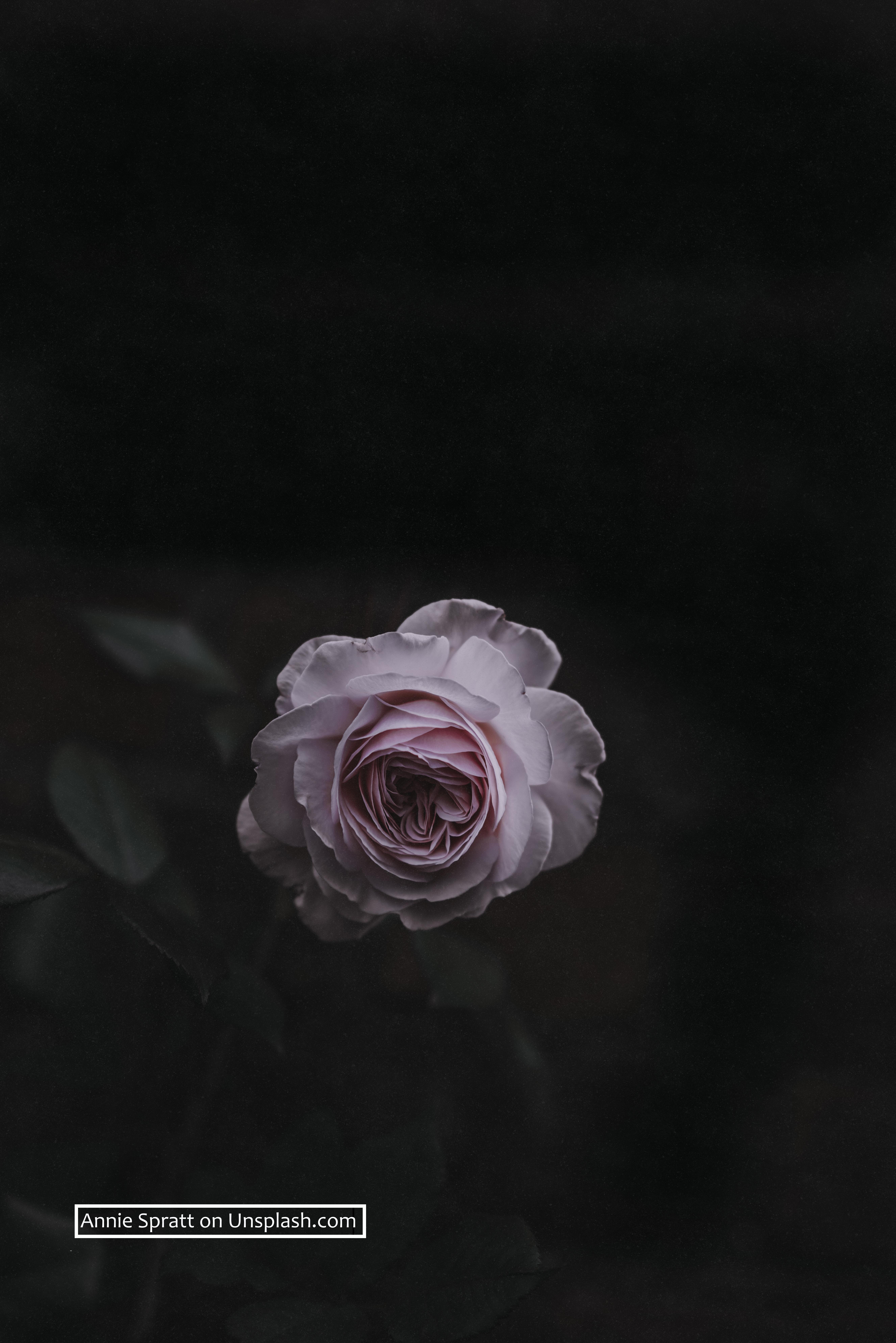 Rose Image by Annie Spratt Unsplash!
