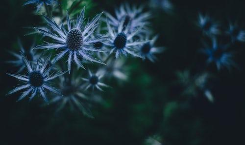 Blue Thistle by Annie Spratt.