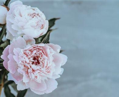 ANNIE SPRATT PINK ROSE