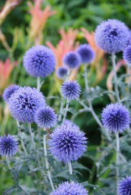 Globe Thistle Image by Google Images