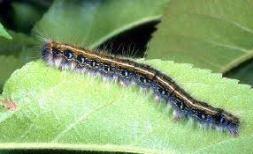 Closeup of a single Forest Tent Caterpillar Image MN DNR
