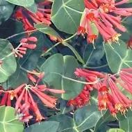 Crimson Honeysuckle Google Images