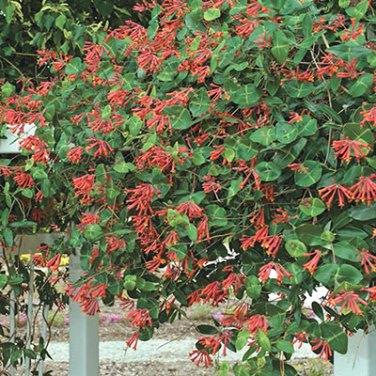 Crimson Honeysuckle Vine