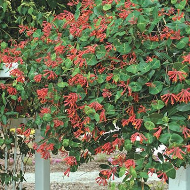 Crimson Honeysuckle Vine