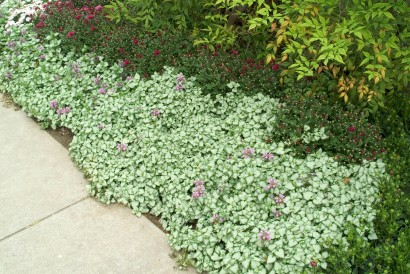 Dead nettle as a ground cover. Google Images