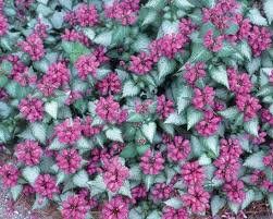 dead nettle ground cover