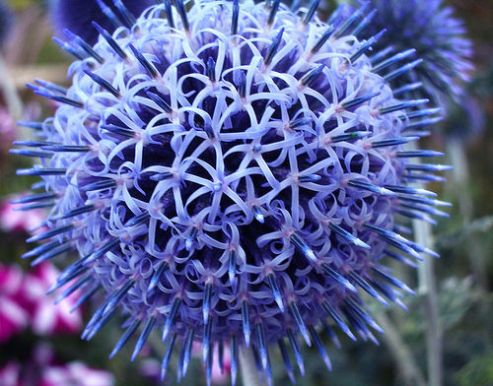 globe-thistle-flower-by-melanie-eclare1