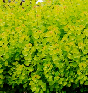 Green or Golden Spirit Smoke Bush
