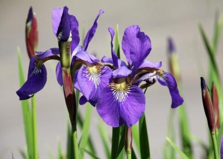 Blue or purple Iris. A popular flower in Zone 3. Google Images