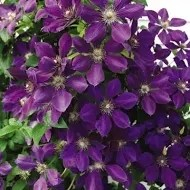Jackmanii Clematis bunch