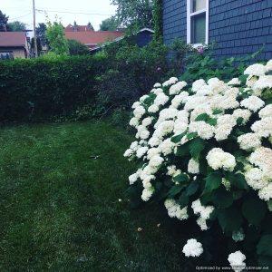 Viburnum 'Snowball' bush by Craig Martineau