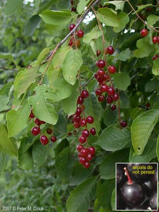 Chokecherry Bush. Photo by: Peter Dziuk