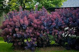 purple smokebush tendrils