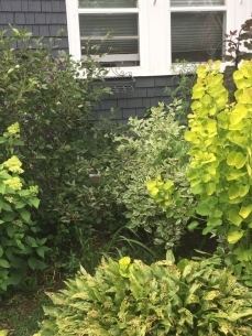 SERVICEBERRY, LIMELIGHT, SMOKEBUSH TIRED HOSTA - Copy