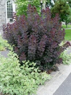 smoketree.royal_.purple