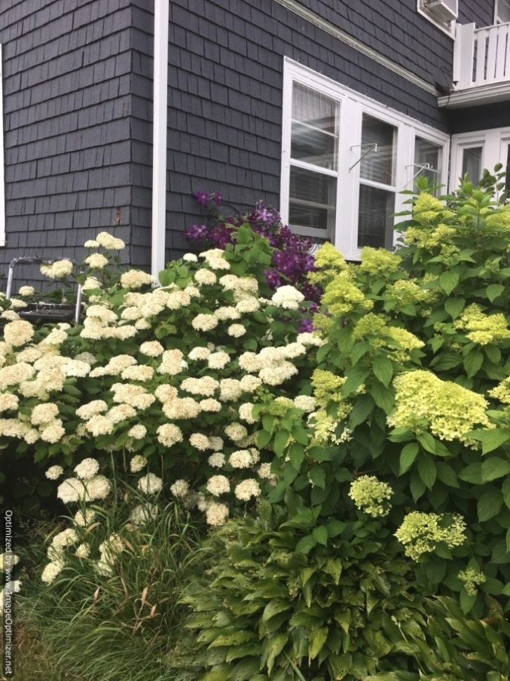Snowball Bush, Hydrangea Limelight and Jackmanii Clematis in the background Image by Craig