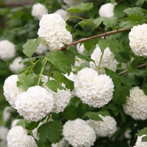 snowball bush Viburnum
