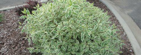 variegated dogwood bush
