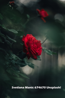 Image of Red Rose by Svetlana Music Unsplash