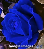 BLUE ROSE ON ANGLE labled