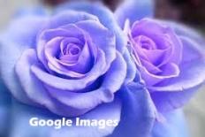 Google Images dual blue roses