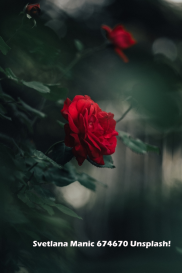 db284-red2brose2bsvetlana-manic-674670-unsplash