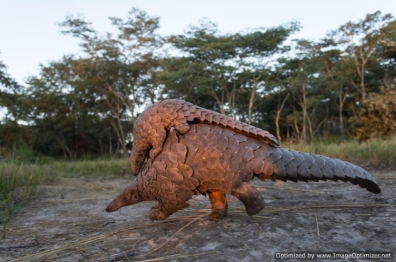 Pangolin out for a romp