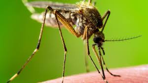 Northern Minnesota Mosquito Google Images