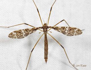 mosquito hawk - google image